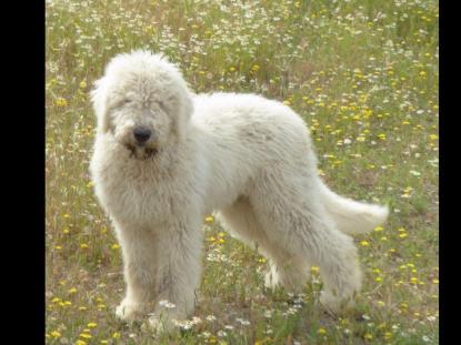 Komondor Puppies For Sale Matilija Komondors